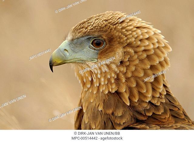 Bateleur Eagle (Terathopius ecaudatus) juvenile, Kruger National Park, South Africa