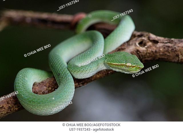 Green viper. Image taken at Kampung Satau, Sarawak, Malaysia