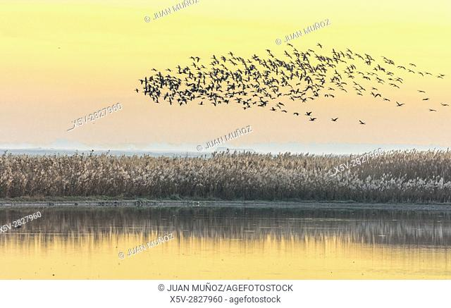 Common side moritos (Plegadis falcinellus) flying over the Reedbeds at dawn. Doñana Natural Park. Seville. Andalusia. Spain