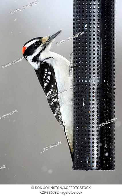 Hairy woodpecker Picoides villosus perched on nyger seed feeder