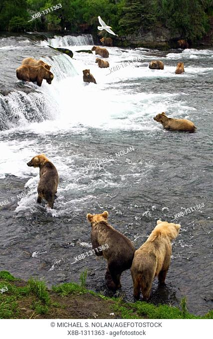 A view from the Park Service platform where adult brown bear Ursus arctos forage for salmon at the Brooks River in Katmai National Park near Bristol Bay, Alaska