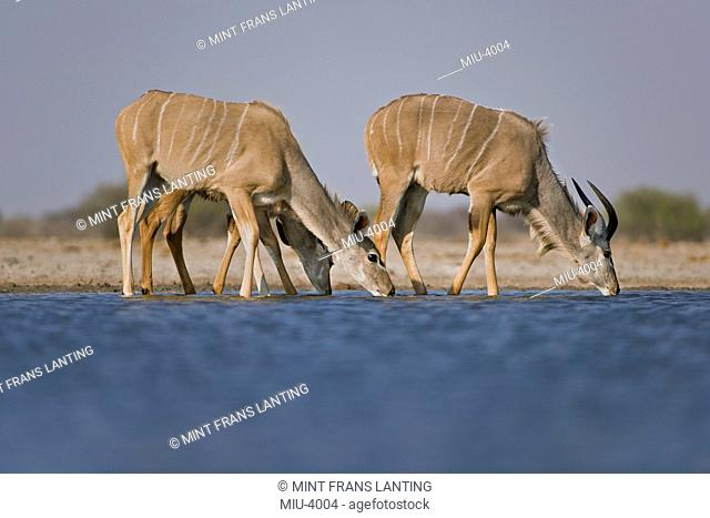 Greater kudus, Tragelaphus strepsiceros, drinking at waterhole, in Etosha National Park