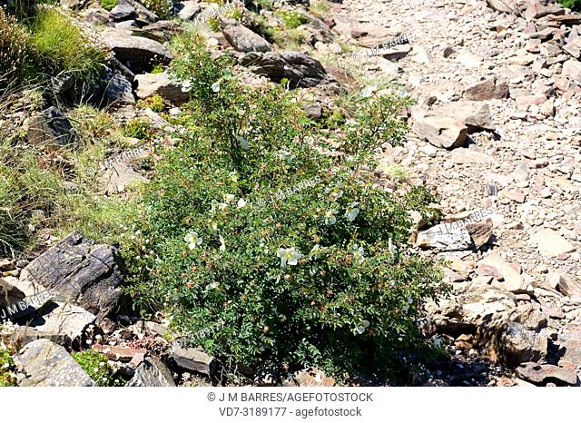 Evergreen rose (Rosa sempervirens) is a perennial thorny shrub native to Mediterranean Basin and France and Portugal coasts