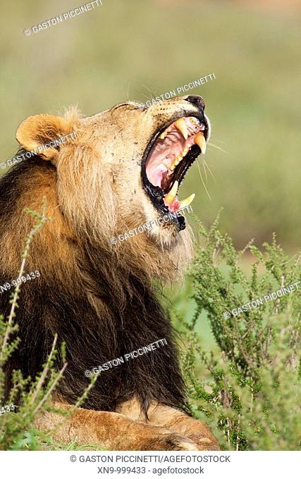 African lion Panthera leo - Male, Kgalagadi Transfrontier Park, Kalahari desert, South Africa