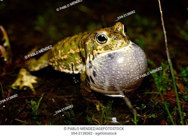 Natterjack toad (Epidalea (Bufo) calamita) calling in Valdemanco, Madrid, Spain