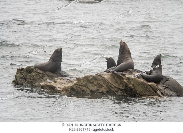 California sea lion (Zalophus californianus) hauled out, Cape Arago, Oregon, USA