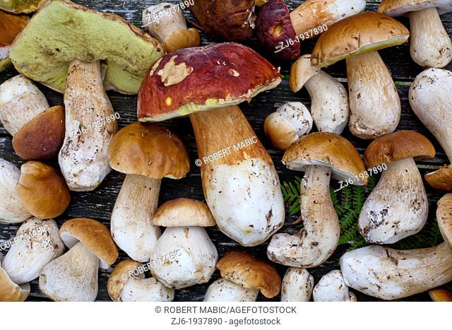 Freshly harvested boletus