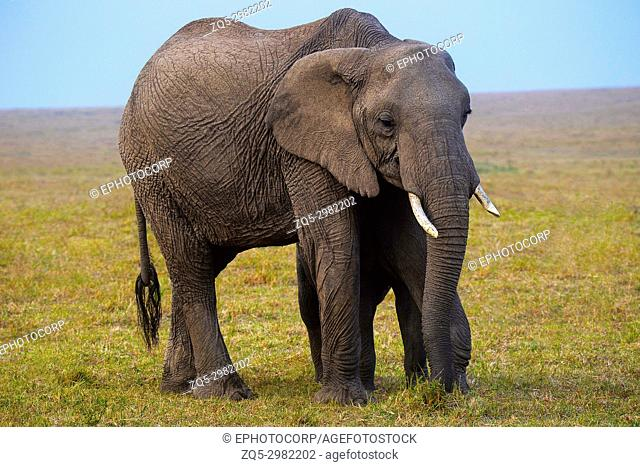 African Elephant, Kenya, Africa