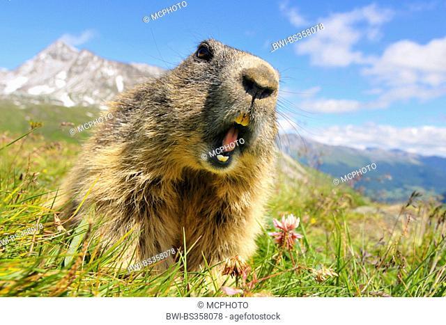 alpine marmot (Marmota marmota), showing its teeth, Austria, Tyrol