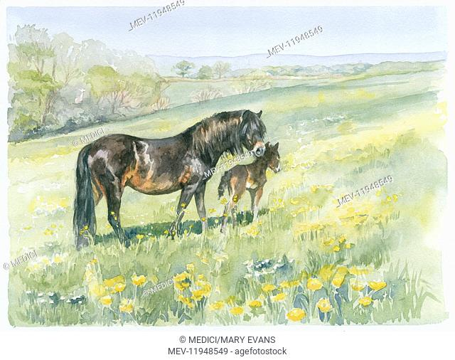 Dartmoor Mare and Foal in Field with Wildflowers