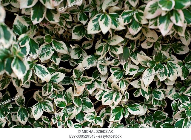 Photo of white and green ivy background