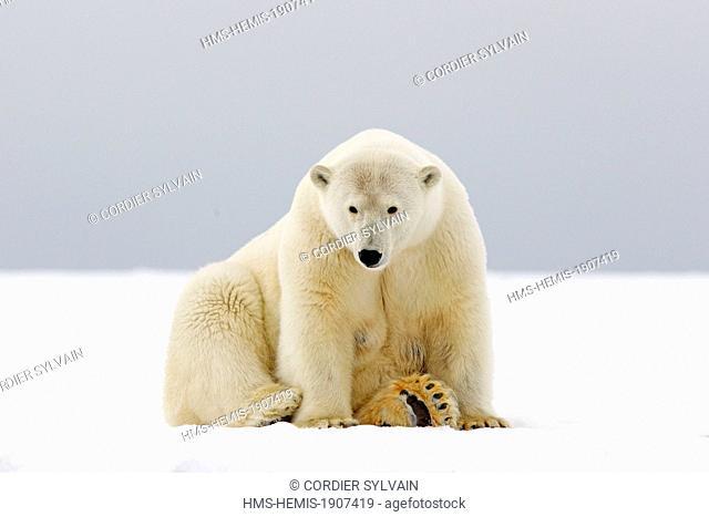 United States, Alaska, Arctic National Wildlife Refuge, Kaktovik, Polar Bear (Ursus maritimus), adult female