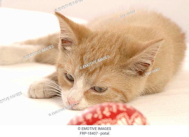 Lying brown cat