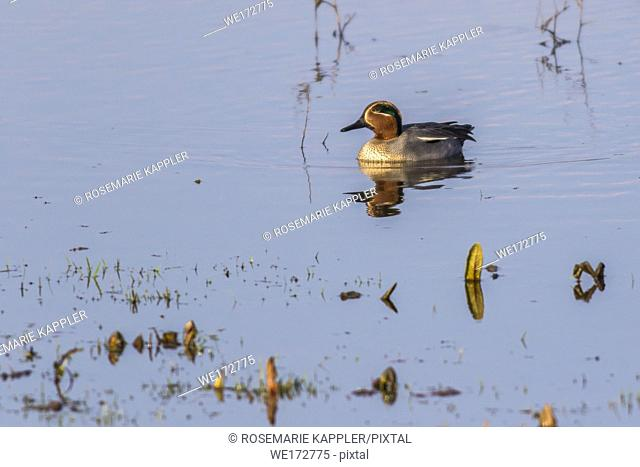 A male common teal floats on a pond near Dillingen in Saarland