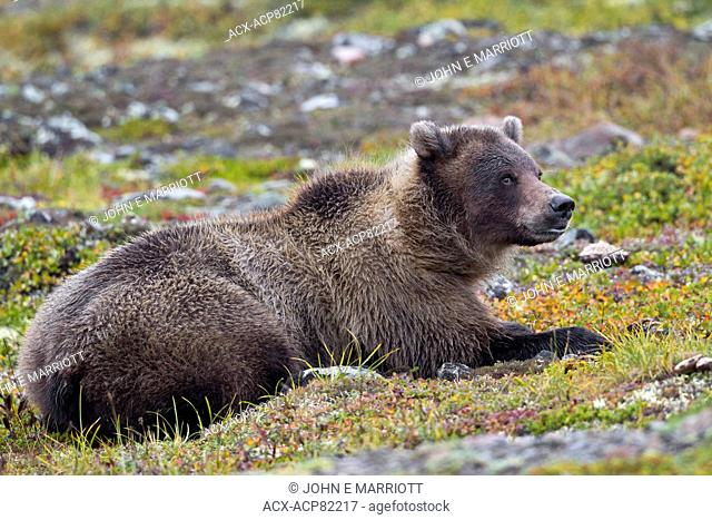 Grizzly bear lieing down on the tundra, Yukon, Canada