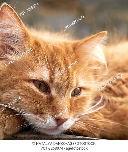 portrait of a redhead adult cat with a big mustache, close up