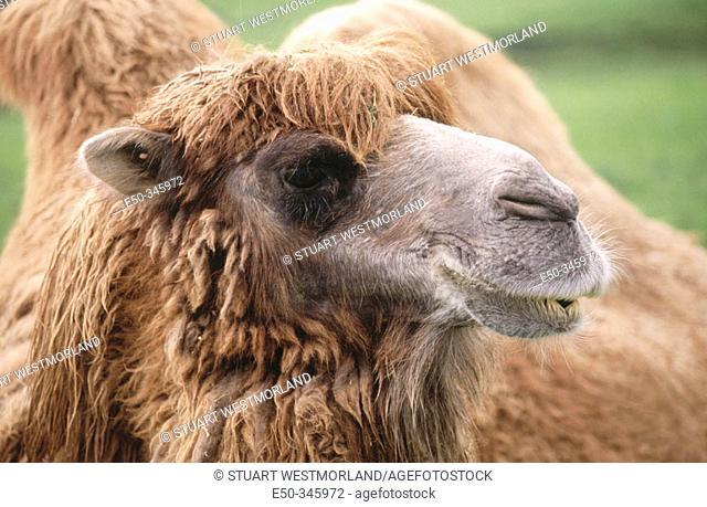 Bactrian camel (Camelus bactrianus), head shot