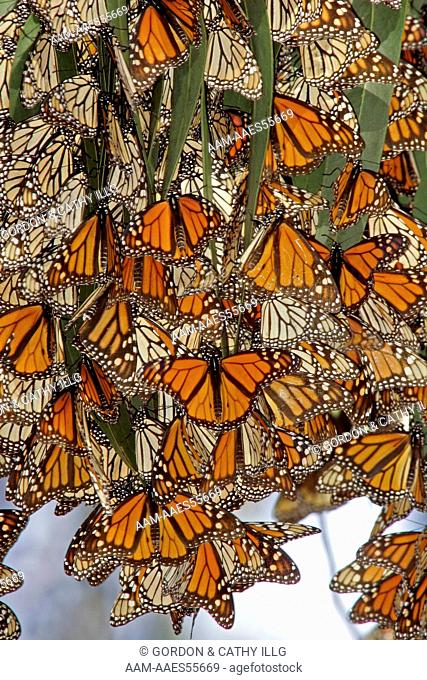 Monarch butterflies (Danaus plexippus) clustering on eucalyptus trees at a winter roost, Pismo Beach, CA