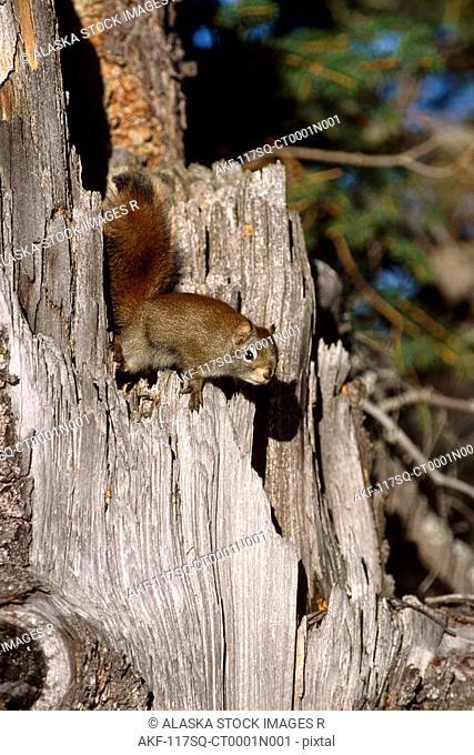 Red Squirrel Climbing on Stump Alaska Summer