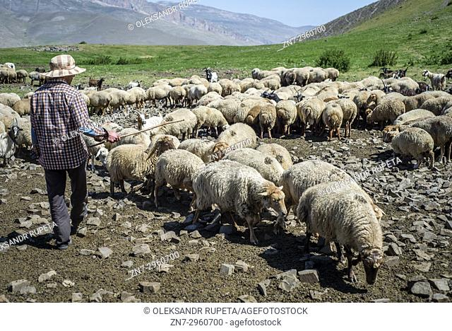 A shepherd is counting sheep in the mountains near Khinalig village, Quba region, Azerbaijan. Khinalig is an ancient village deep in the Caucasian mountains on...