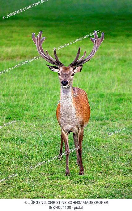 Red Deer (Cervus elaphus), adult male, stag, antlers in velvet, Surrey, England, United Kingdom