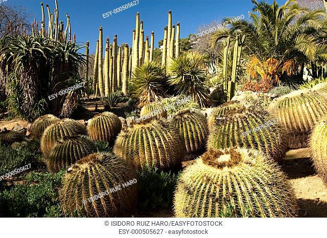 Echinocactus Cactácea  Jardín Tropical Botánico de Pinya de Rosa  Blanes Costa Brava  Girona  Catalunya  España