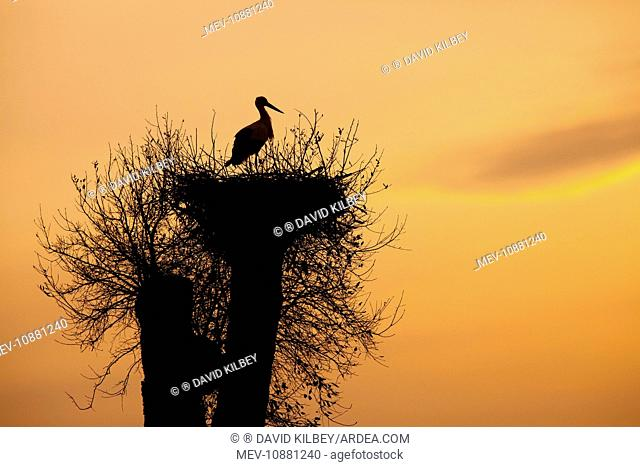 White Stork - single adult on nest silhouetted against evening sky (Ciconia ciconia). Southern Spain