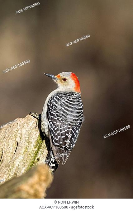 Female Red-bellied Woodpecker (Melanerpes carolinus), Lynde Shores Conservation Area, Whitby, Ontario, Canada