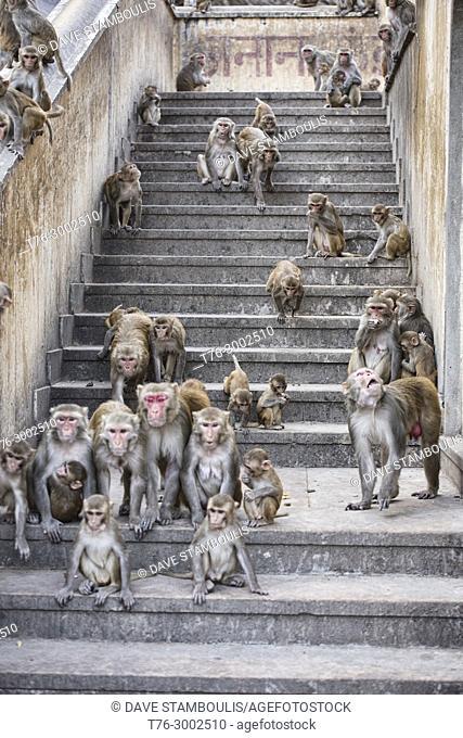 Feeding time at the Galtaji Monkey Temple, Jaipur, India