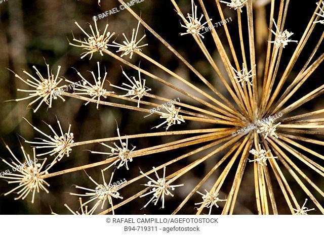 Dried plant (fam. Umbelliferae). Osseja, Languedoc-Roussillon, Pyrénées-Orientales, France