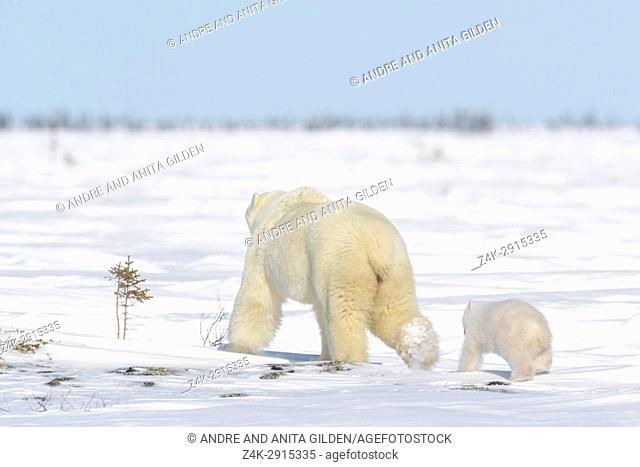 Polar bear mother (Ursus maritimus) with new born cub walking on tundra, Wapusk National Park, Manitoba, Canada