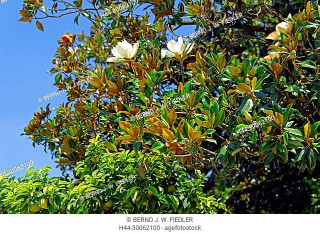 Europe, Italy, Veneto Veneto, Stra, via doge Alvise Pisani, Museo Nazionale Tu villa Pisani, park, orangery, tree, blossoms, historically, museum, park, trees