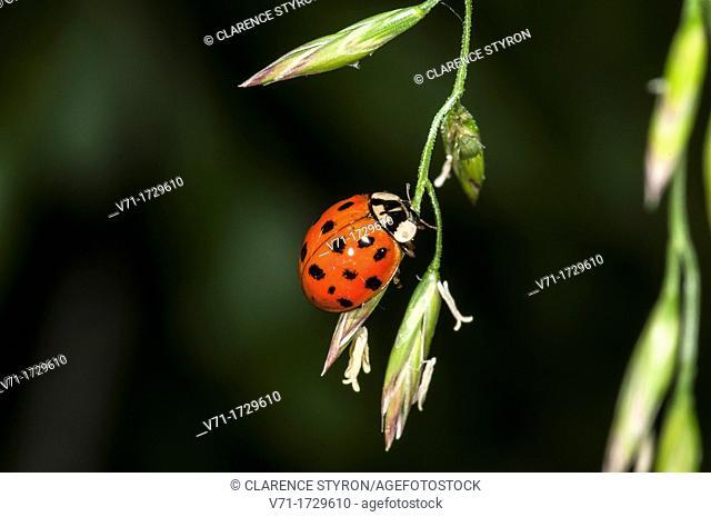 Asian Multicolored Lady Beetle  Harmonia axyridis