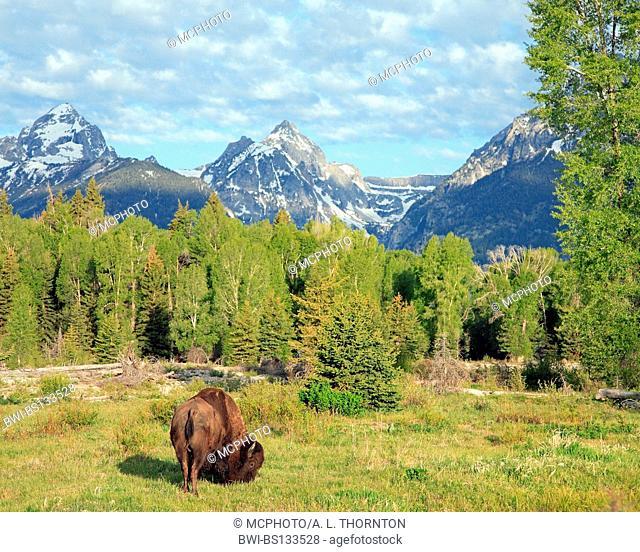 American bison, buffalo (Bison bison), buffalo in Tetons, USA, Wyoming, Grand Teton NP