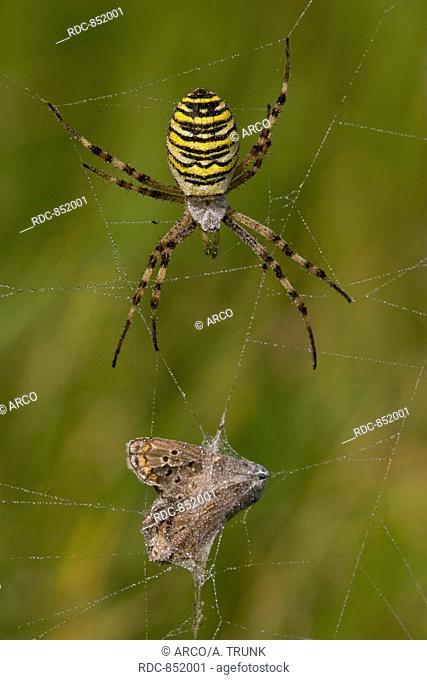 Wespenspinne (Argiope bruennichi) wasp spider