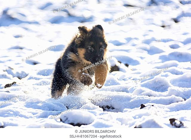 German Shepherd. Long-haired puppy running in snow. Germany