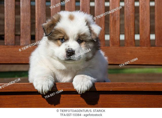lying Elo Puppy