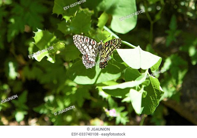 Yellow butterfly on green leaves, Alor Mountain Range, Extremadura, Spain