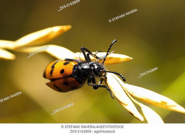 Mylabris quadripunctata - Umbria, Italy