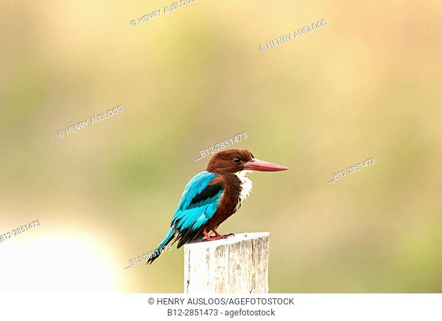 White-throated kingfisher (Halcyon smyrnensis), Thailand