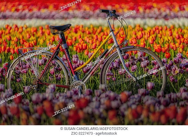 Spring Tulips and Bicycle - Old Gazelle bicycle surrounded by thousands of beautiful colorful tulips in the farm during the golden hour.