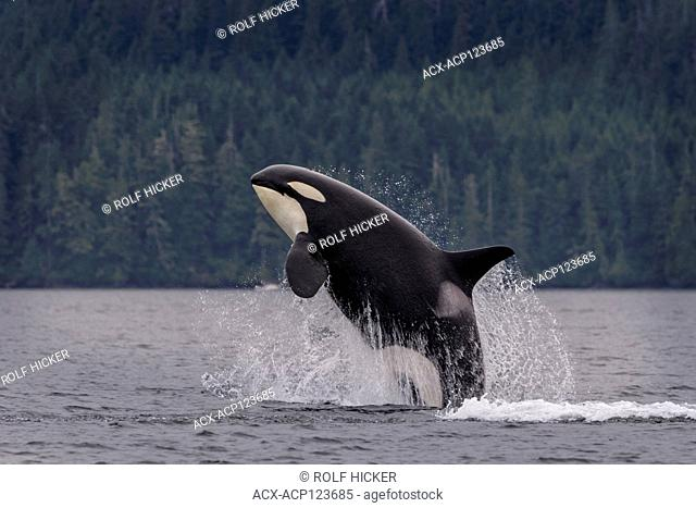 Northern resident orca whale (killer whale, Orcinus orca) breaching off northern Vancouver Island, First Nations Territory, British Columbia, Canada