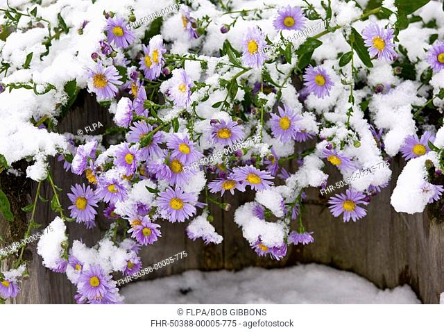 Michaelmas Daisy Aster x versicolor flowering, covered with snow, Romania, october