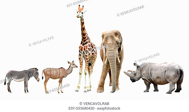 giraffes,elephant,rhino,kudu and zebra isolated on white