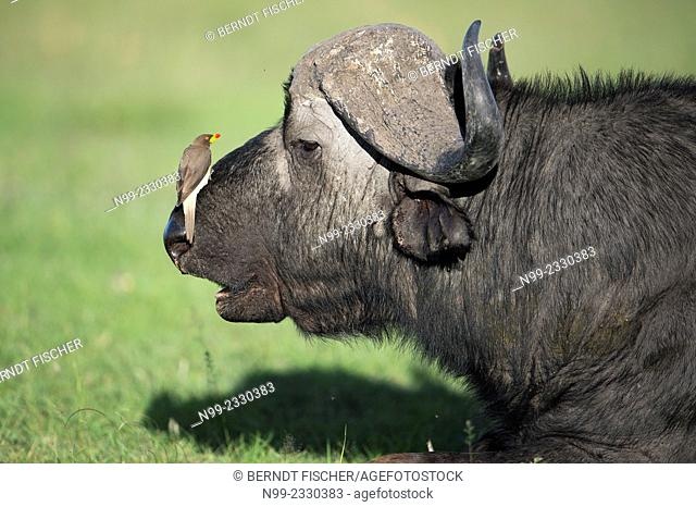 African buffalo (Syncerus caffer) with Red billed Oxpecker (Buphagus erythrorhynchus), National Reserve Masai Mara, Kenya