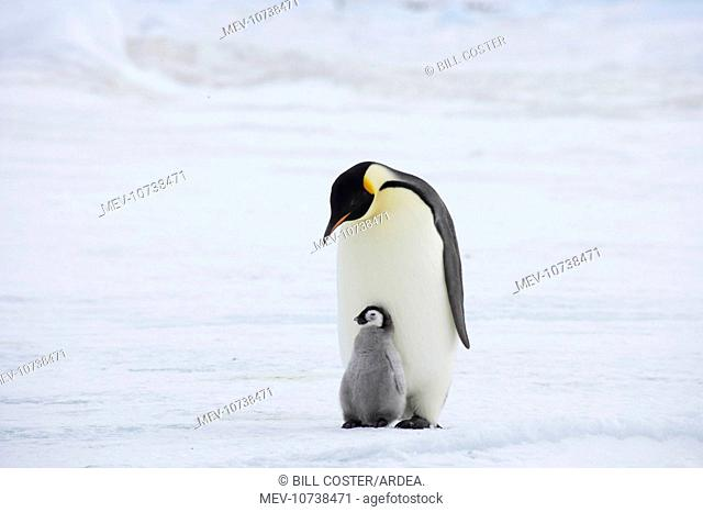 Emperor Penguin - Parent with Young Chick (Aptenodytes forsteri)