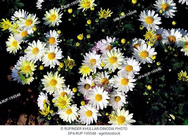 Daisy flower, india, asia