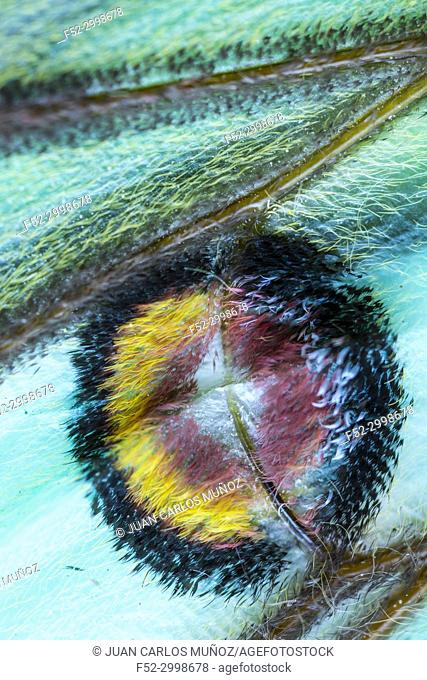 Detail of Eyespot (sometimes ocellus) - Ocelo, SPANISH MOON MOTH (Graellsia isabellae)