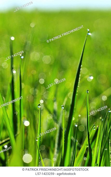 Gras covered in dew drops, Switzerland