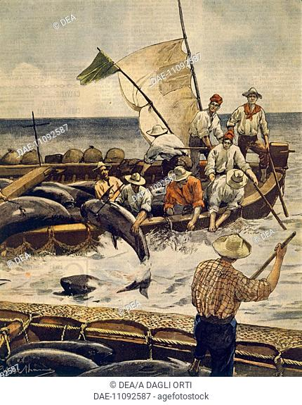 Extraordinary bluefin tuna fishing at Piana Island, Sardinia. Illustrator Achille Beltrame (1871-1945), from La Domenica del Corriere, 30th June 1900